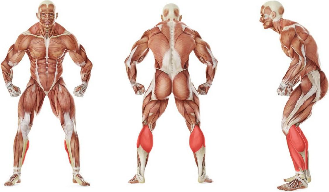 Какие мышцы работают в упражнении Подъем на носки со штангой