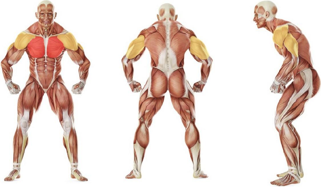 Какие мышцы работают в упражнении Отжимания с поднятыми ногами