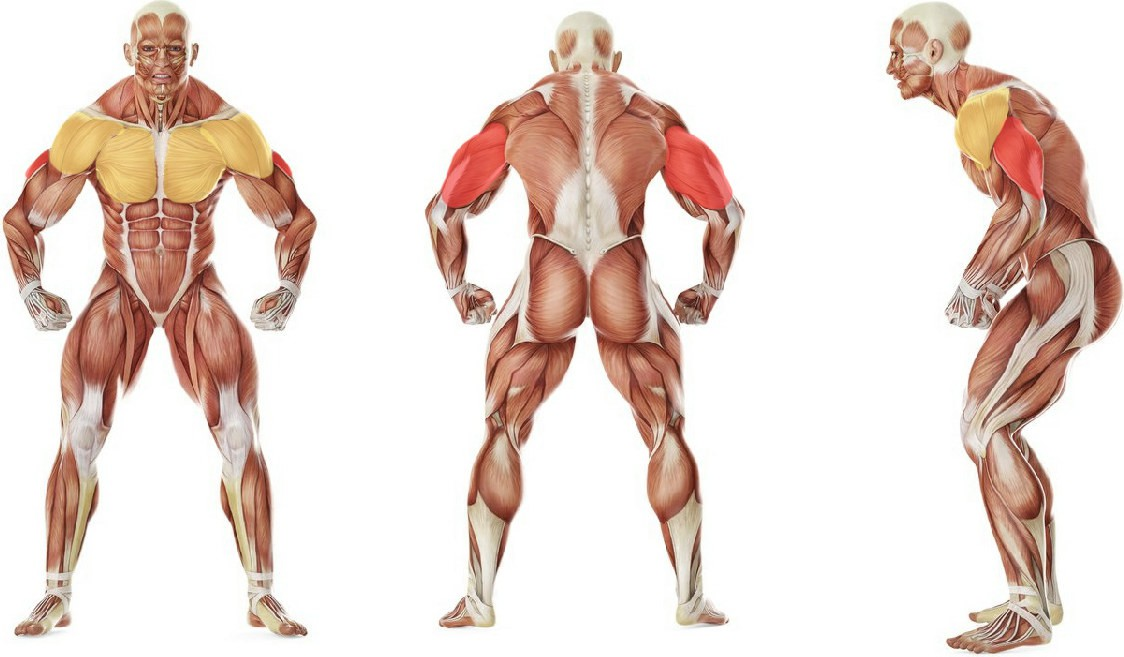 What muscles work in the exercise Pushups (Close and Wide Hand Positions)