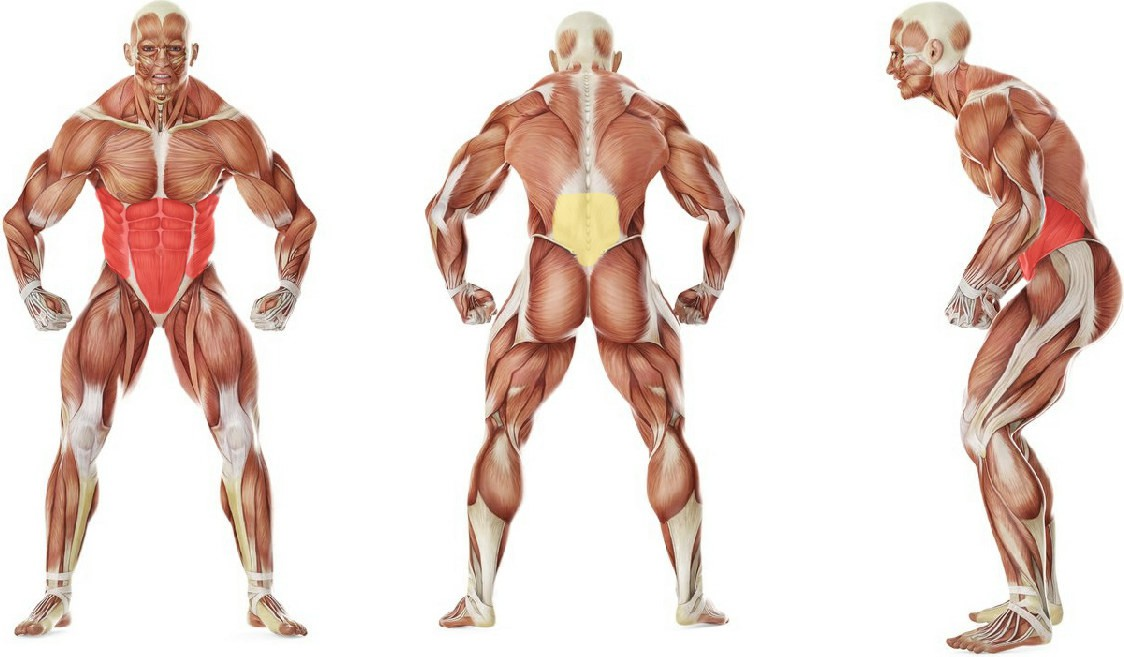 What muscles work in the exercise Fitball Wipers