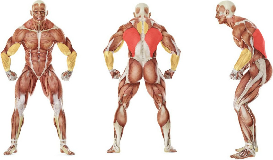 What muscles work in the exercise Pullups