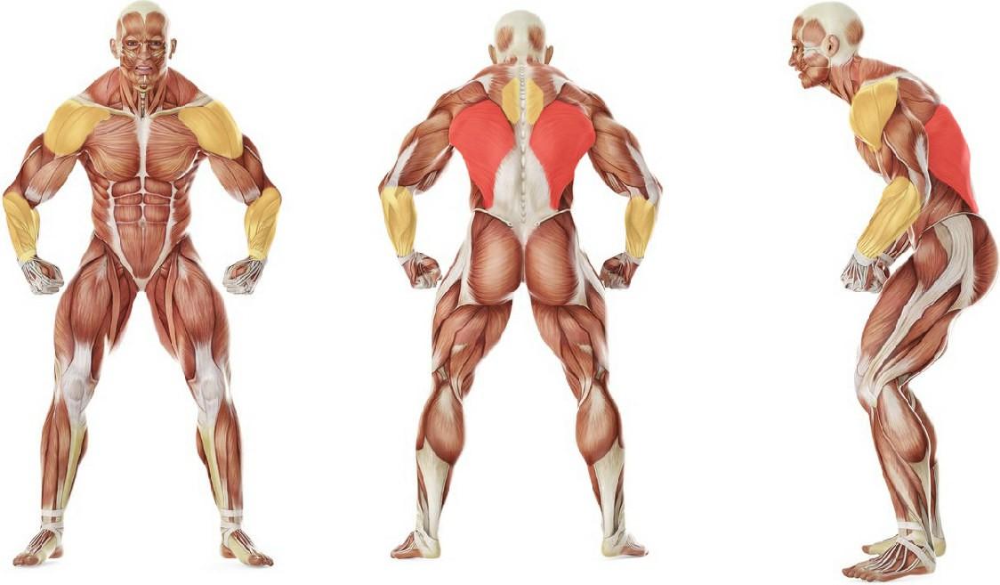 Какие мышцы работают в упражнении Подтягивания в стороны