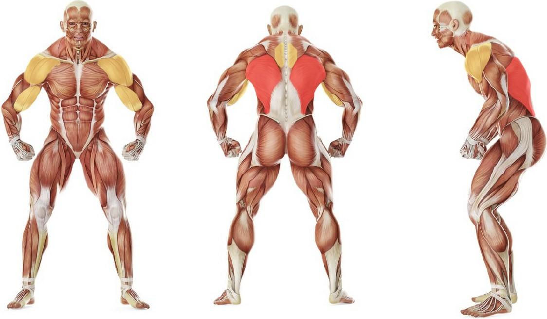 Какие мышцы работают в упражнении Подтягивания от Рокки