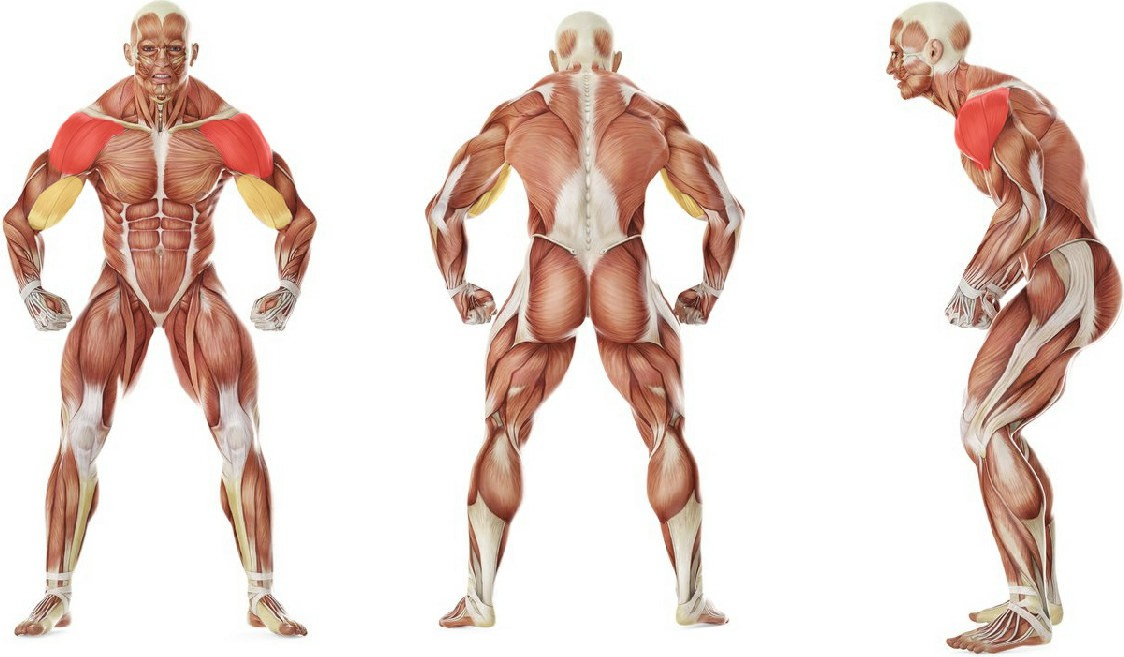 What muscles work in the exercise Dumbbell Raise