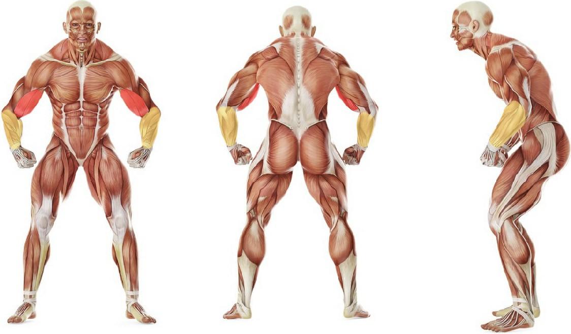 Какие мышцы работают в упражнении Поочередный подъем гантелей на бицепс