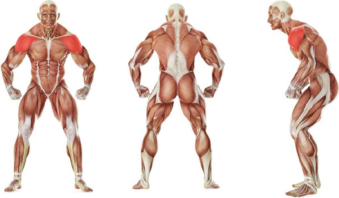 What muscles work in the exercise Front Two-Dumbbell Raise