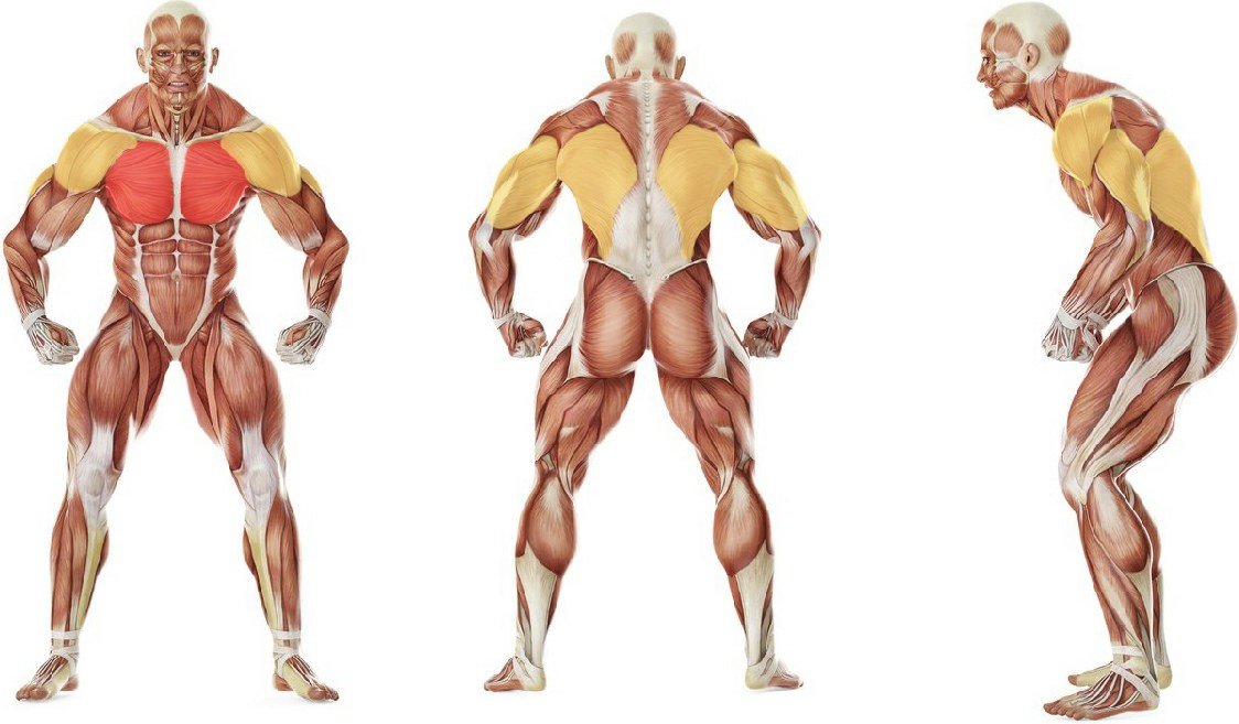What muscles work in the exercise Bent-Arm Barbell Pullover