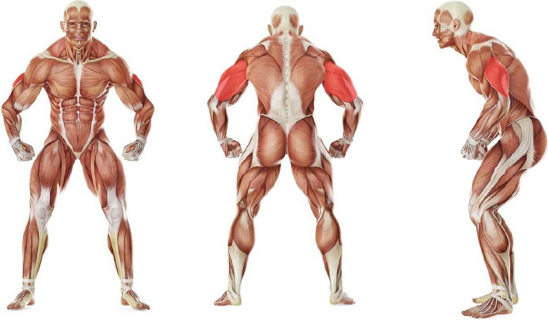 Какие мышцы работают в упражнении Разгибание двумя руками на трицепс в положении стоя