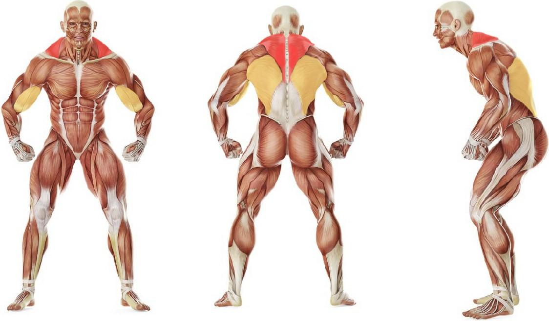 Какие мышцы работают в упражнении Поочередный подъем гирь назад