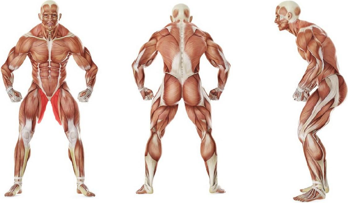 Какие мышцы работают в упражнении Растяжка внутренних мышц бедер