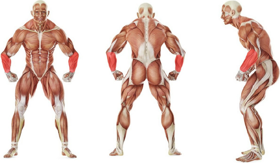 What muscles work in the exercise Palms-Up Barbell Wrist Curl Over A Bench