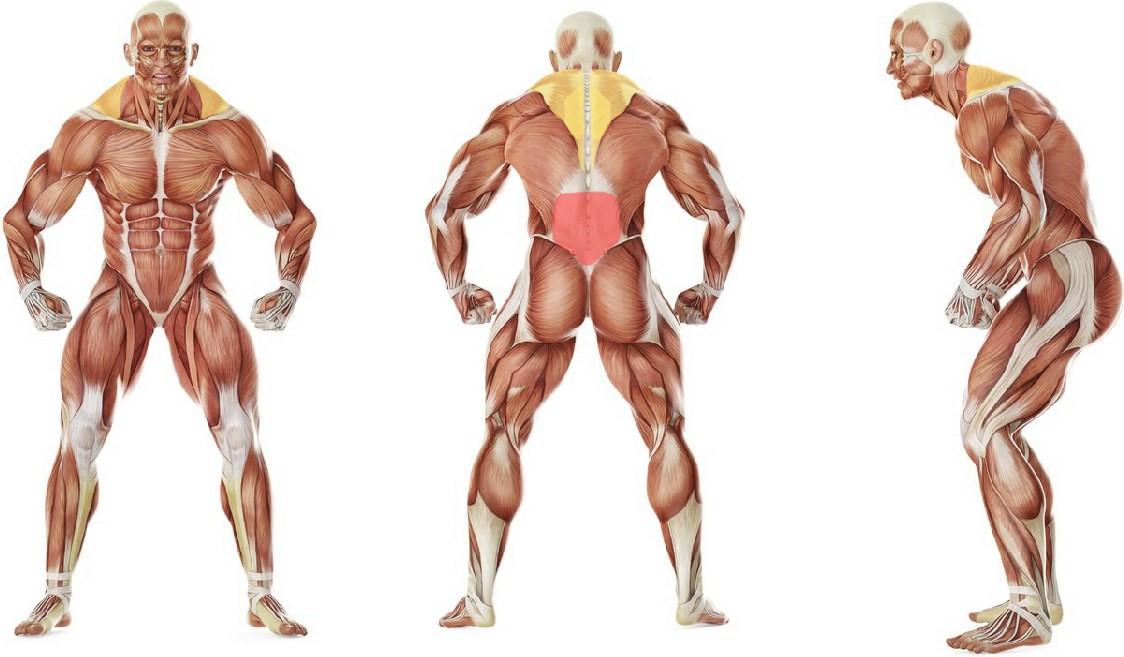 Какие мышцы работают в упражнении «Кошачья» растяжка