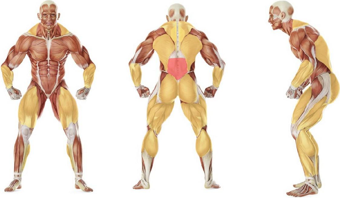 Какие мышцы работают в упражнении Становая тяга со штангой классическая
