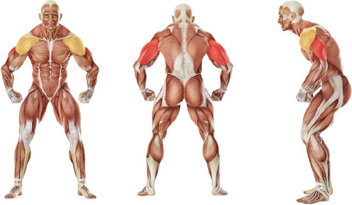 What muscles work in the exercise Standing Overhead Barbell Triceps Extension