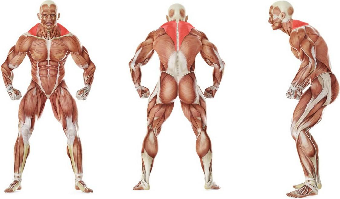 Какие мышцы работают в упражнении Шраги со штангой