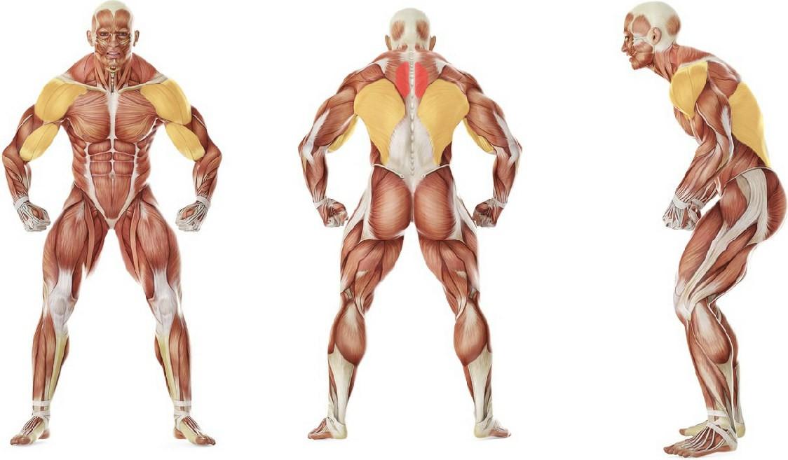 Какие мышцы работают в упражнении Тяга гантели в наклоне