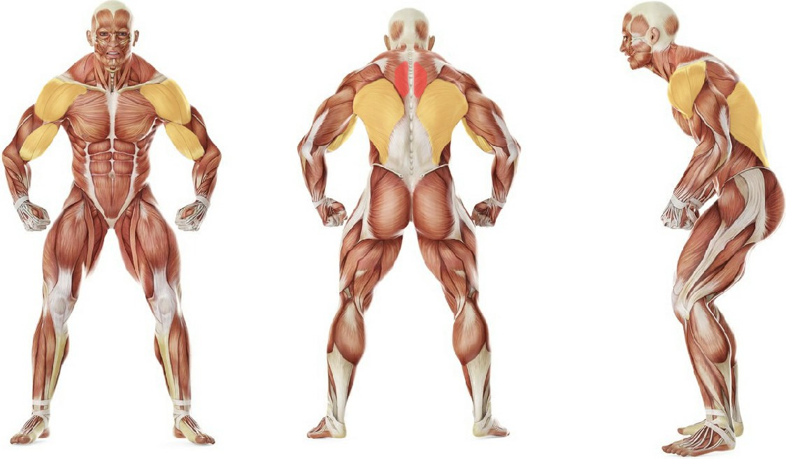 What muscles work in the exercise Seated Cable Rows