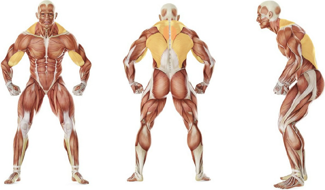 What muscles work in the exercise Seated One-arm Cable Pulley Rows