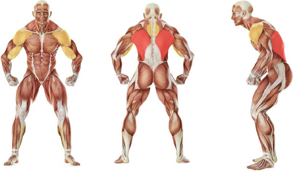 What muscles work in the exercise Close-Grip Front Lat Pulldown