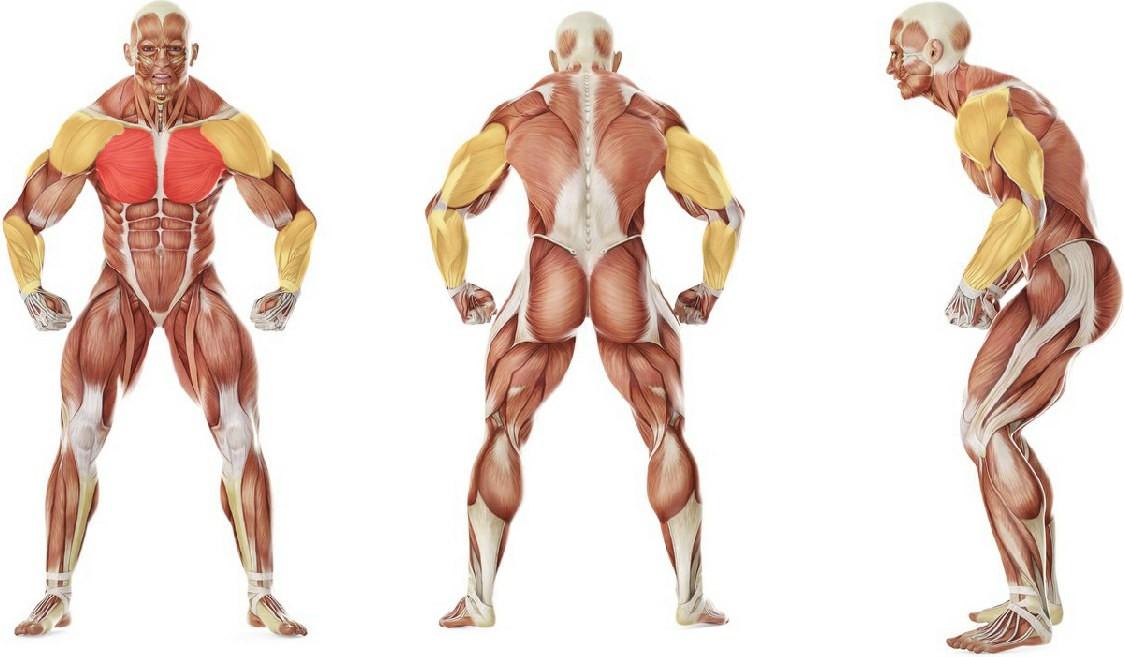 Какие мышцы работают в упражнении Отжимания на перекладине обычным хватом